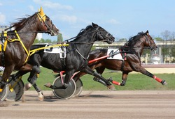 Horses trotter breed in motion on hippodrome. Harness horse racing.