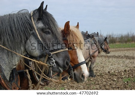 horses working as a team plowing the land