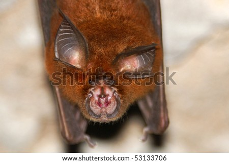 Horseshoe Bat (Rhinolophus sp.) in Batu Cermin Cave, Flores, Indonesia