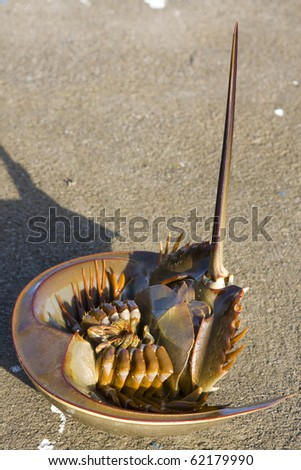 horseshoe crab cartoon. stock photo : horseshoe crab