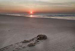 Horseshoe crab  crawls along the sandy beach to the ocean. Sunrise.Atlantic ocean beach. Md.USA