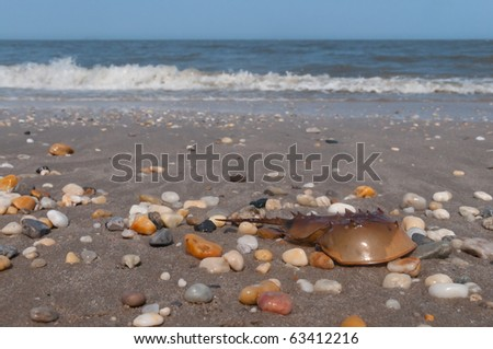 Horseshoe crab on Broadkill Beach - stock photo