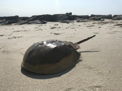 Horseshoe crabs dying shells one on the beach during the day