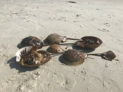 Horseshoe crabs dying shells one two and multiple many on the beach during the day