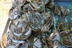 Horseshoe for sale, horseshoe crabs are marine and brackish water arthropods of the family Limulidae, and the only living members of the order Xiphosura.