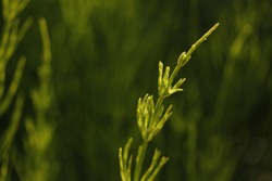 Horsetail (equisetum arvense) - one  plant shoot on abstract green background. Wild medical plant growing in a swamp.