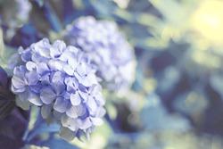 Hortensia flower, hydrangea flower, background.