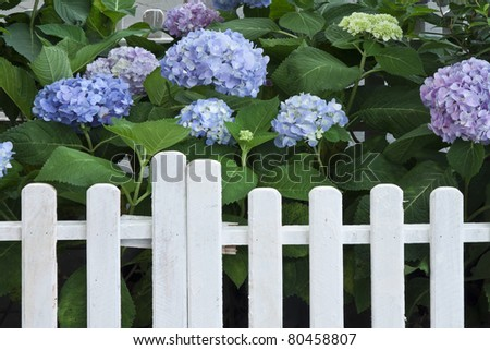 Hortensia in white fence - stock photo