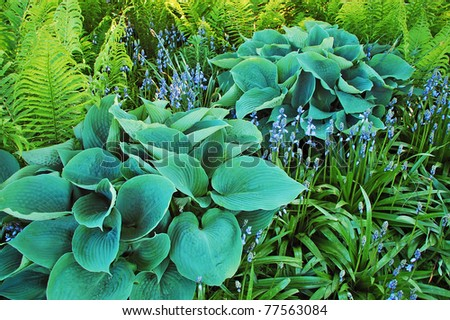 Hosta and fern plants in botanical garden - stock photo