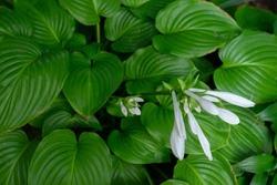 Hosta flowers blooming in summer garden, beauty in nature