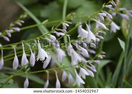 Hosta is a genus of plants commonly known as hostas, plantain lilies and occasionally by the Japanese name giboshi. Hostas are widely cultivated as shade-tolerant foliage plants.  #1454032967
