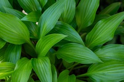 Hosta plant in the garden. Large green leaves hosta.Closeup green leaves background.