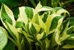 Hosta 'Yellow Polka Dot Bikini' in springtime. Green leaves with a white line between center en wide bright yellow edge. Good for shade garden.