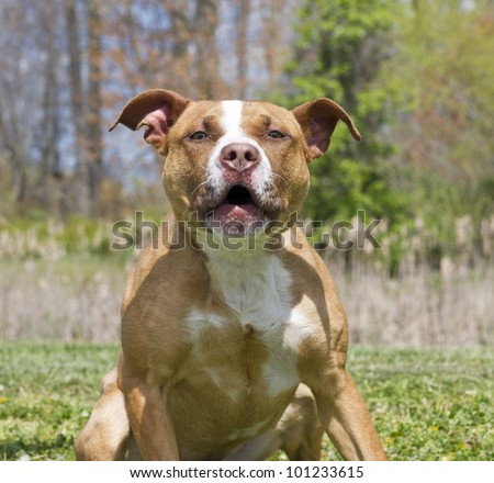 Hostile, aggrressive muscular brown and white dog growling