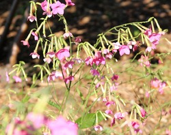 Hot drooping pink wildflowers in the sun.