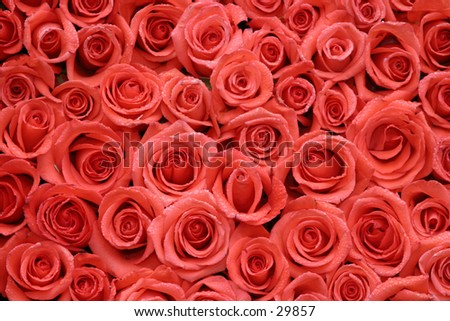 hot red roses packed side by side