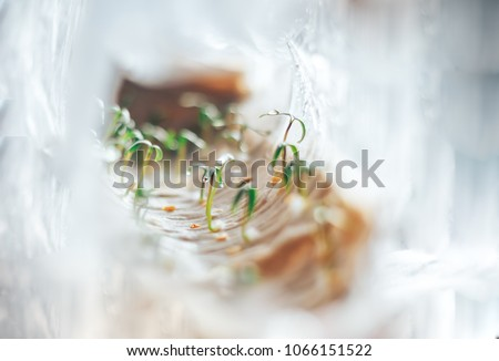 hothouse of cellophane tape at home, seedlings in hothouse #1066151522