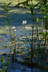 Hottonia palustris ( water violet or featherfoil ) growing in bog. Aquatic flowering plants.