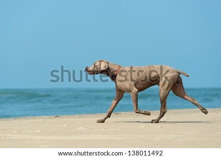 Hound dog runs happily on the seashore #138011492