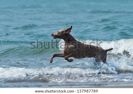 Hound dog runs happily on the seashore waves