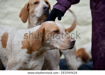 Hound enjoys a fuss as it waits at meet to go out drag hunting in the UK #181044626