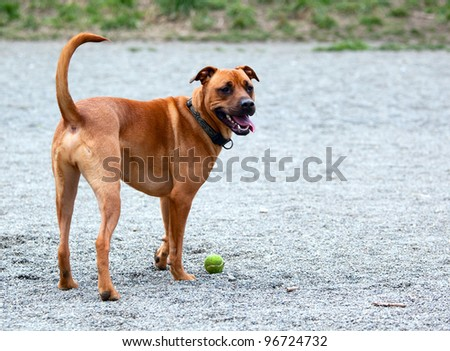 Hound retrieving the ball