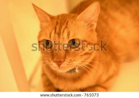 House cat at a vet in Saudi Arabia