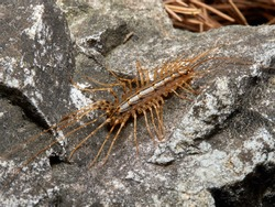 House centipede. Scutigera coleoptrata in a natural enviroment.