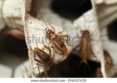 House cricket (Acheta domestica) on egg pack. Wild life animal.