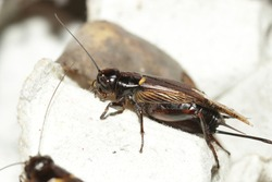 House cricket, African cricket, Mediterranean field cricket, Two-spotted cricket, Gryllus bimaculatus