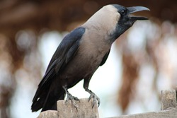 house crow commons known as the Indian, greynecked, Ceylon or Colombo crow a bird of common crow family