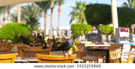 House crow (Corvus splendens), also known as the Indian, greynecked, Ceylon or Colombo crow. A bird tries to steal food from a human dwelling. Foto stock ©