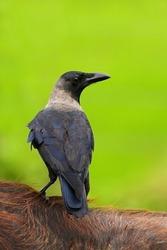 House Crow, Corvus splendens, black and grey bird sitting on furry back of cow, clear green background, Yala National park, Sri Lanka.