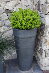 House exterior decoration. Closeup view of a Buxus sempervirens bush, also known as Boxwood, growing in a pot.