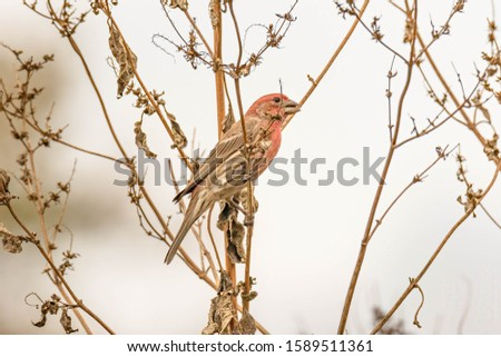 House Finch Adults have a long brown tail and are a brown or dull-brown color across the back with some shading into deep grey on the wing feathers.