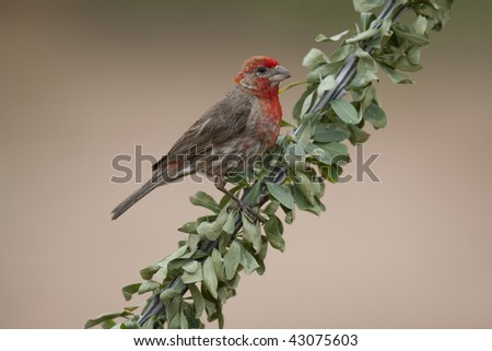House Finch (Carpodacus mexicanus frontalis), male.