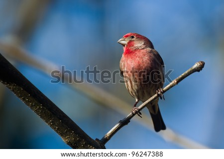 House Finch (Carpodacus mexicanus). House Finch is a bird in the finch family Fringillidae.