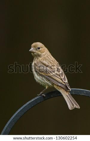 House Finch (Carpodacus mexicanus) is a bird in the finch family Fringillidae. - stock photo