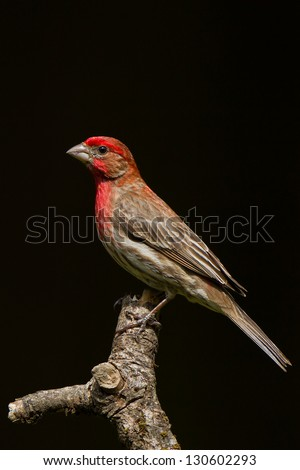 House Finch (Carpodacus mexicanus) is a bird in the finch family Fringillidae.