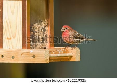 House Finch (Carpodacus mexicanus) on a bird feeder.