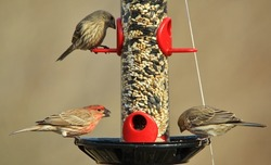 House Finch - Wild Birds from America - Feathers, Food and Fun
