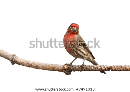 house finch with head cocked perched on a branch; white background