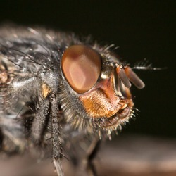 House fly close up
