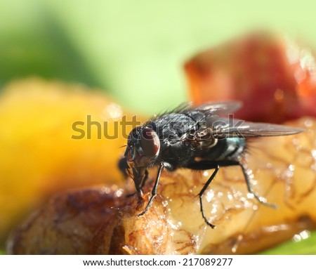 House fly close-up, food contamination hygiene concept