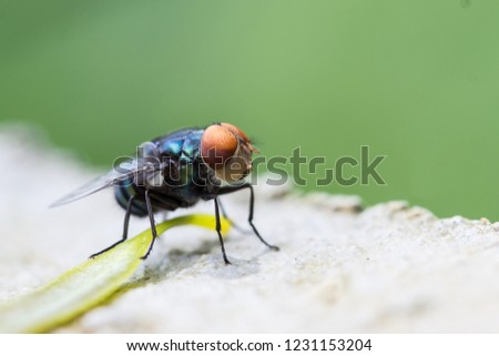 House fly, Fly, fly on leaf