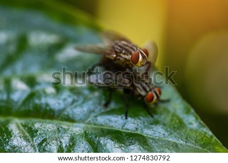 House fly, Fly, House fly on leaf.Mixed flies on green leaves.
