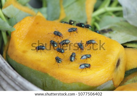 House fly, food contamination hygiene concept. The flies are insect carriers of cholera. Living on kitchen accessories, fruits, vegetables and food scraps. To spread the disease.