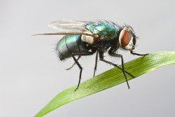 house fly in extreme close up sitting on green leaf. Picture taken before grey background.