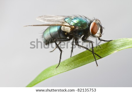 house fly in extreme close up sitting on green leaf. Picture taken before grey background. #82135753