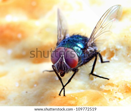 House Fly on a Biscuit in extreme close-up
